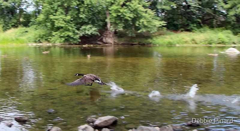 Canada Goose Take-Off, Rideau River Ottawa Ontario by Debbie Pinard