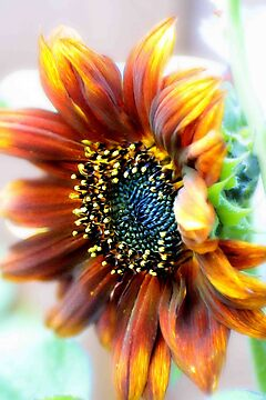 Radiant sunflower by missmoneypenny