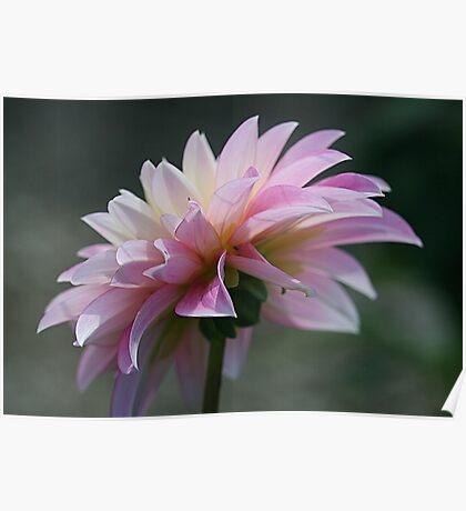Backlit Pink Poster