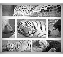 Lions and Tigers and Bears! Photographic Print