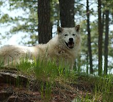Arctic Wolf by Scott Hendricks
