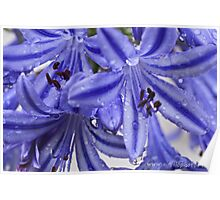 Agapanthus / African Lillies  Poster