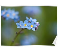 Tiny forget-me-not flowers Poster