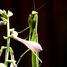 Praying Mantis Portrait by Sharon Woerner