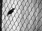 I Know Why The Caged Bird Sings (black and white) by Nevermind the Camera Photography