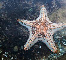 Hello, Sea Star by -aimslo-