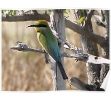 Rainbow Bee-eater, Parry Lagoons, Kimberley Poster