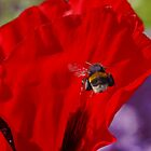 Bee Flying to Poppy by AnnDixon