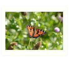 Tortoise shell butterfly, English Countryside. Art Print