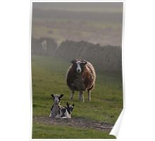 Yorkshire, Life, Spring Lambing Time. Poster