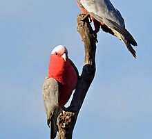 Galahs. Cedar creek, Queensland, Australia. by Ralph de Zilva