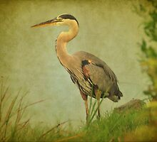 Great Blue Heron Along The Shore by Kathy Baccari