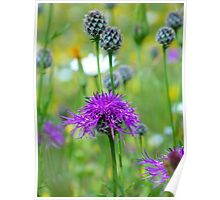 Knapweed Violet Pointed Flower Blue Bloom Poster