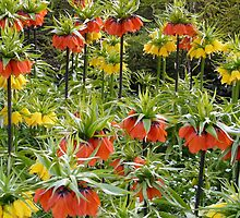 Imperial Crown Flower Yellow Orange by HQPhotos
