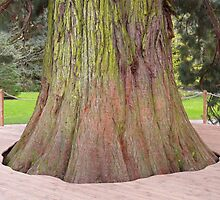 Giant Redwood Sequoiadendron Giganteum Tree by HQPhotos