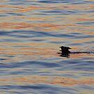 Sunset Swim by Greta  McLaughlin