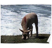South Devon Gara Rock Lamb Grazeing Near Cliff Edge With Wild Sea Spring 2011 Poster