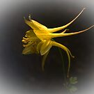 Yellow Aquilegia by Bev Pascoe