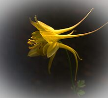 Yellow Aquilegia by Bev Pascoe