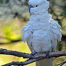 Sulphur Crested Cockatoo. Cedar Creek, Qld, Australia. (2) by Ralph de Zilva