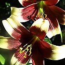 Nepalese Lily by Bev Pascoe