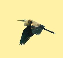 Tri-color heron in flight by ♥⊱ B. Randi Bailey