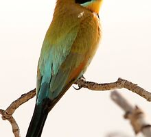 Bee Eater, female by Maree Costello