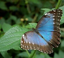 Blue Butterfly by Hannah Welbourn