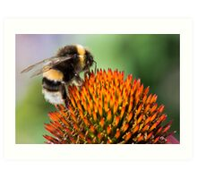 Bumble Bee on an Echinacea Flower Art Print
