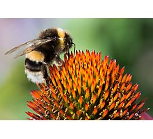 Bumble Bee on an Echinacea Flower Photographic Print