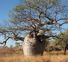 Ancient Kimberley Boab by DianneLac