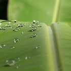 Banana leaf by Morag Anderson