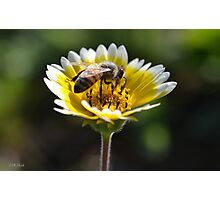 Honeybee on a Yellow Flower Photographic Print