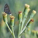 Gray Butterfly Hovering by TheBluePlanet