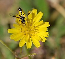 Black Wasp on a Dandelion Flower by TheBluePlanet