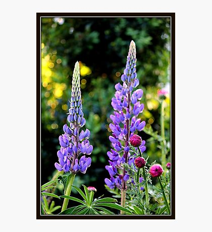 Lupines and Gerbera in the Garden Photographic Print
