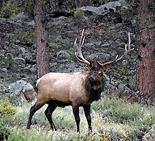 Big Bull Elk by Brenda Hagenson