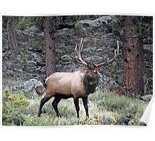 Big Bull Elk Poster