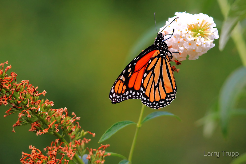 Monarch on the Rodgersia by Larry Trupp