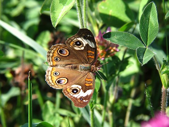 Buckeye Butterfly by Ron Russell