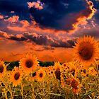 Sunflowers Field  by LudaNayvelt