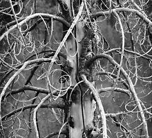 Dead Fir Tree 2 by David Kocherhans