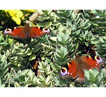 A pair of peacock butterflies Photographic Print