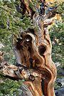 Bristlecone Pine Tree by William C. Gladish