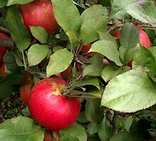 Honeycrisp by Tracy M