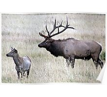Bull Elk and Calf Poster