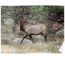 Prancing Bull Elk Poster