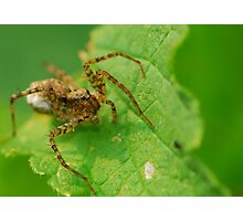 small wolf spider Photographic Print