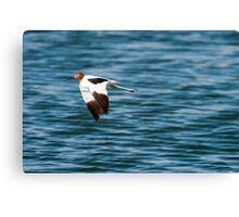 Red-necked Avocet Canvas Print