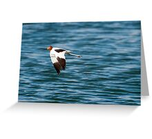 Red-necked Avocet Greeting Card